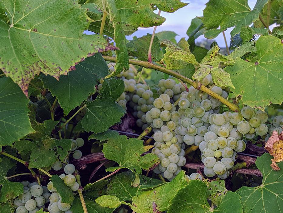old-mans-creek-iowa-vineyard-winery-gallery-concord-1