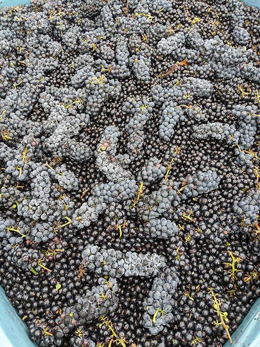 old-mans-creek-iowa-vineyard-winery-gallery-concord-2