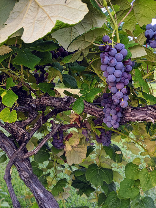 old-mans-creek-iowa-vineyard-winery-gallery-concord-3