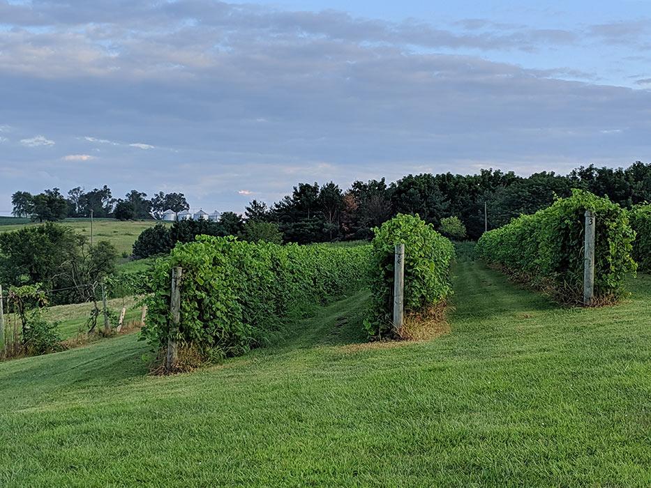 old-mans-creek-iowa-vineyard-winery-gallery-concord-4