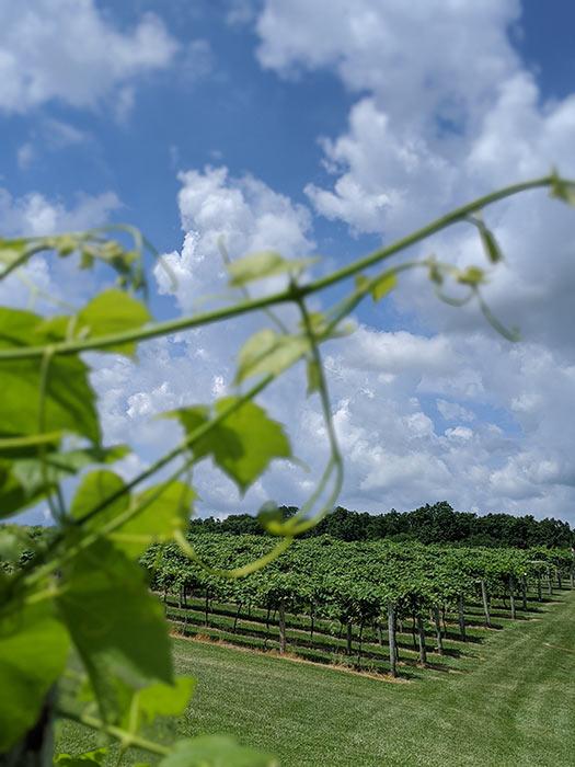 old-mans-creek-iowa-vineyard-winery-gallery-concord-5