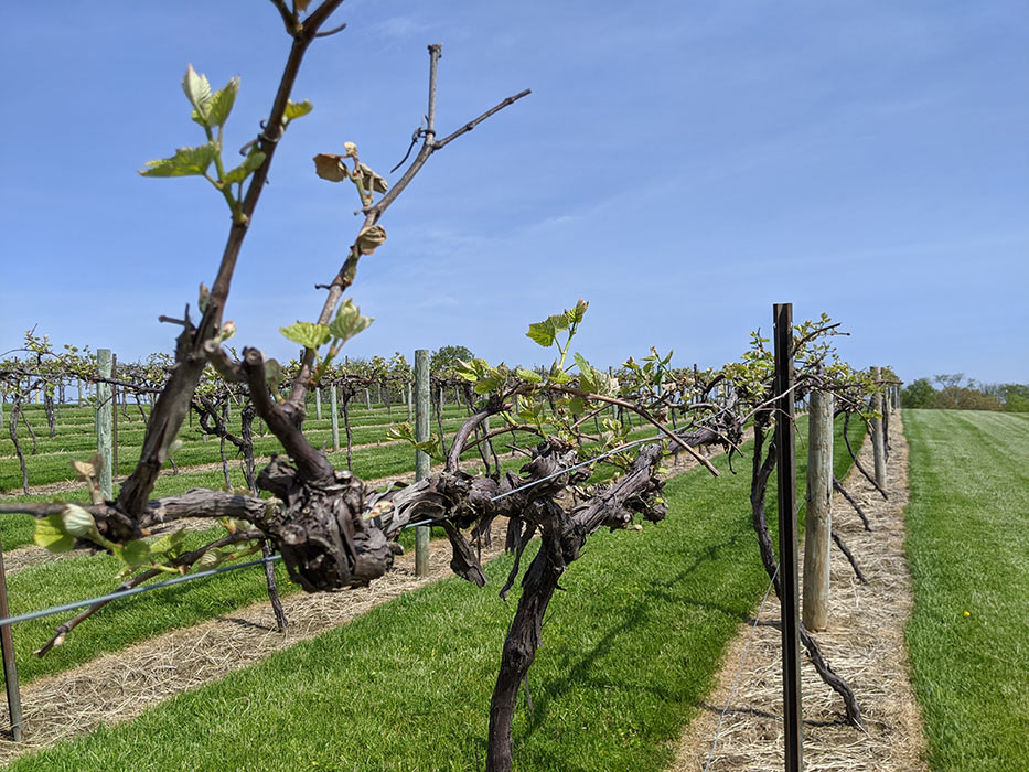 old-mans-creek-iowa-vineyard-winery-gallery-concord-8